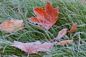 Frost on lawn with fallen leaves